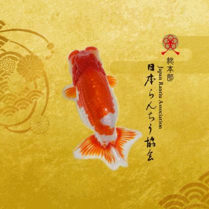 日本らんちう協会総本部ホームページ